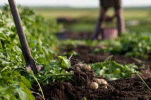 moneytrans-blog-dia-mundial-de-la-salud-cosecha-patata